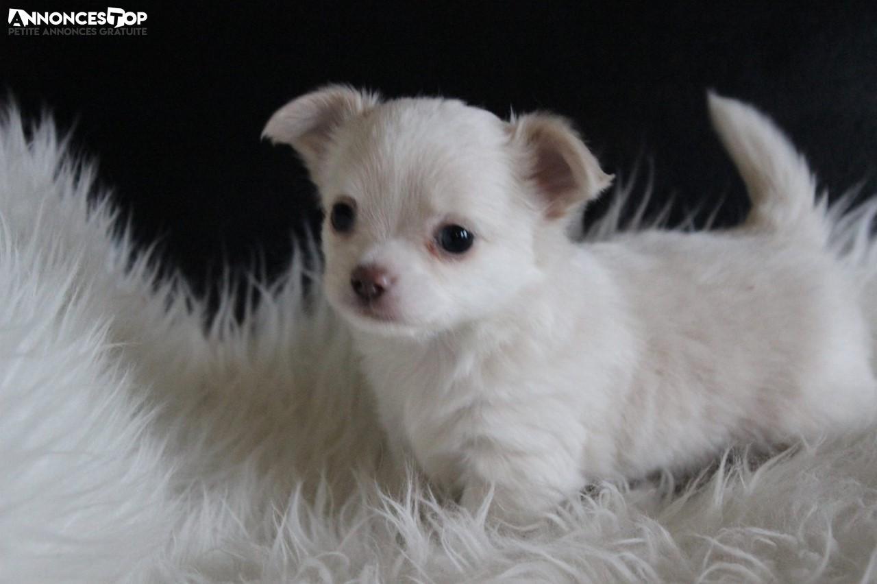 Annonce A Donner Chiot Type Chihuahua Femelle Sur Notre Site Www Annonces Top Com