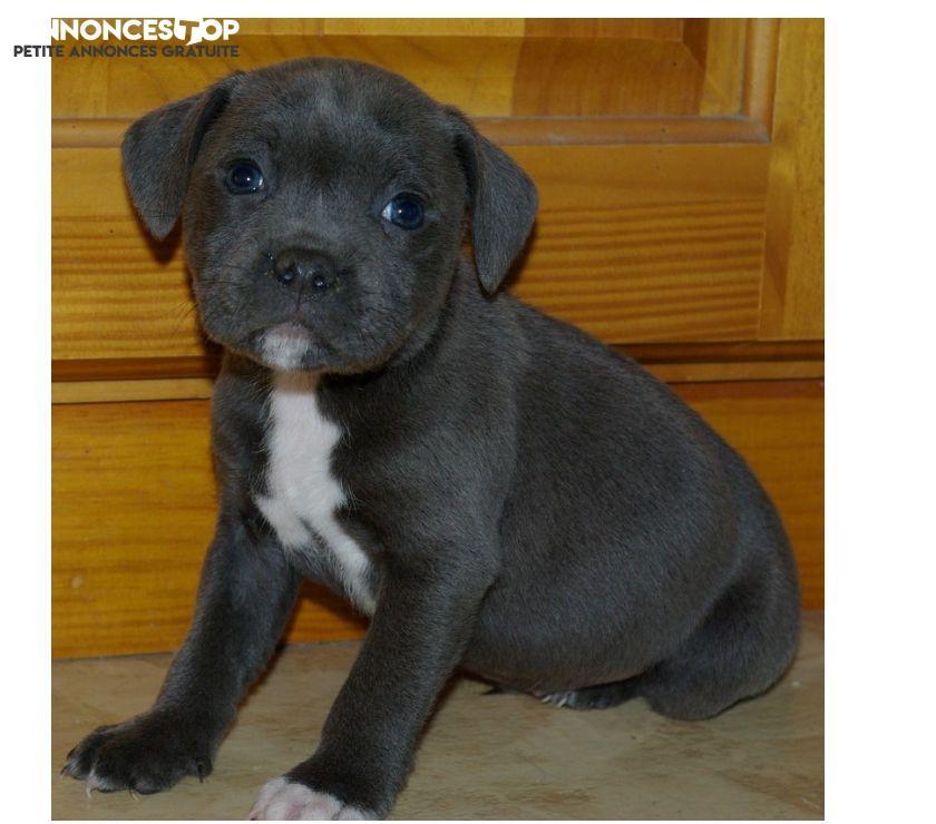 Annonce A Donner Chiots Staffordshire Bull Terrier Gironde Sur Notre Site Www Annonces Top Com