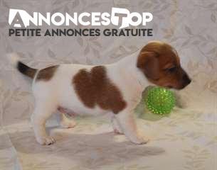 Annonce A Donner Chiot Type Jack Russel Male Gironde Sur Notre Site Www Annonces Top Com